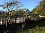 IT'S TIME TO TRIM THE 6 APPLE TREES