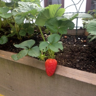 FIRST STRAWBERRY ON OUR PATIO GARDEN