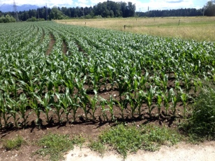 CORN-MOSTLY FOR COWS