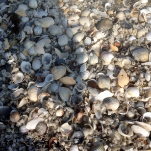 BLACK SEA BEACH COVERED IN SHELLS