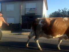 COWS HERDED DOWN THE STREET JUST LIKE ALBANIA