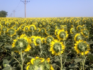 WHO TAKES THE BACK SIDE OF PHOTO OF SUNFLOWERS? ME