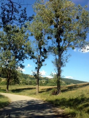 MISTLETOE TREES