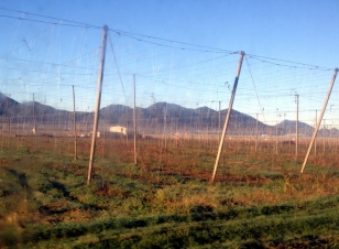 RECENTLY HARVESTED HOPS FIELDS