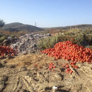 TOMATOES DUMPED ON THE SIDE OF THE ROAD