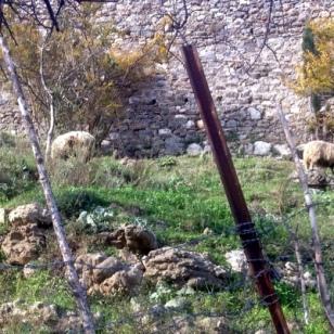 MOWING SHEEP