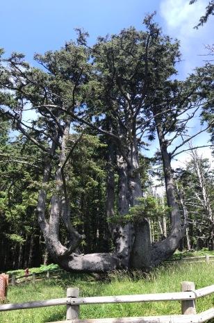 OCTOPUS TREE