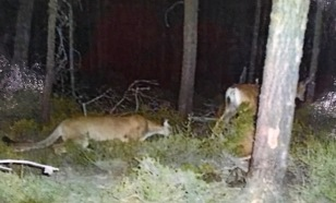 DEER BEING TAILED BY COUGAR