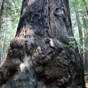 GROWING REDWOOD BURLS