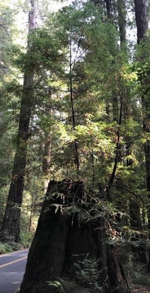 MOTHER TREE STUMP