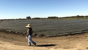 FUTURE STRAWBERRY BEDS
